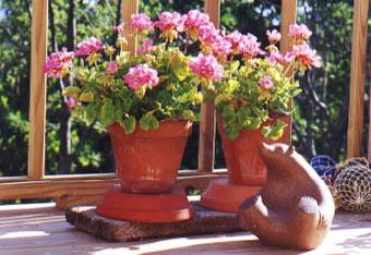 Geraniums - Care geraniums flourishing balcony porch ...